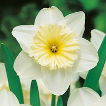 Daffodil Ice Follies (Large Cup)