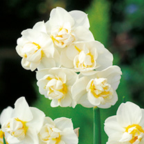 Cheerfulness is one of the very few really sweetly scented narcissi you can buy, with lovely creamy double flowers, too. RHS Award of Garden Merit win