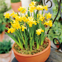 Pretty narcissus in wooden planter. Perfect to brighten dark winter days. 14cm diameter. Delivered in bud in December, flowers in 2-3 weeks depending