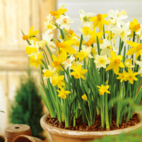 Daffodil Miniature Bulbs Mix 200