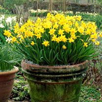 The all time best-selling miniature daffodil bulb, producing pretty clusters of golden-yellow, trumpet-shaped flowers perched on firm stems. Ideal for