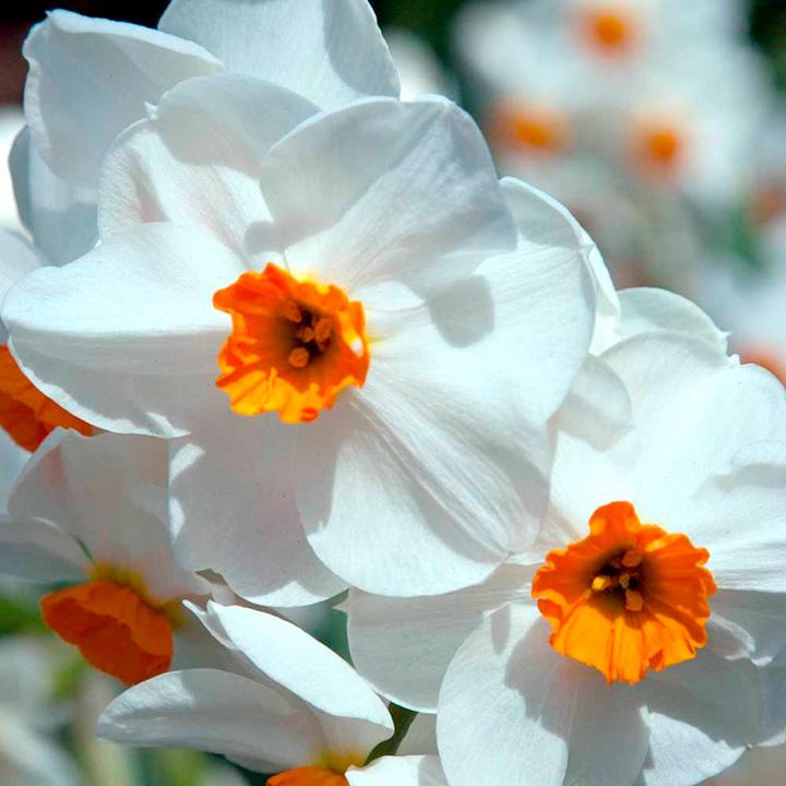 Daffodil Bulbs - Geranium