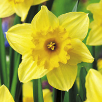 Daffodil Bulbs - Carlton