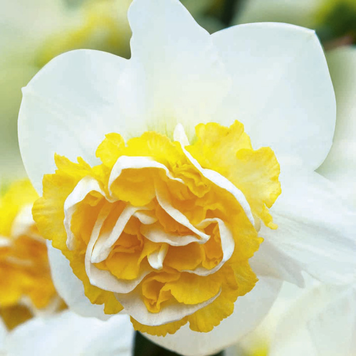 Daffodil Double Bulbs - Wave