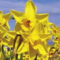 Daffodil (Cornish) Sweetness - Jonquilla