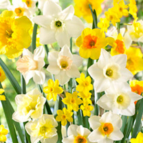 Daffodil Bulbs - Large Cup Mix 200