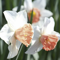 Daffodil (Cornish) Bulbs - Camilla Duchess of Cornwall
