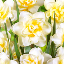 Daffodil Double Bulbs - Collection