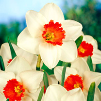 Daffodil Decoy (Large Cup) Bulbs