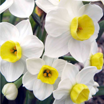 Daffodil (Cornish) Bulbs - Avalanche