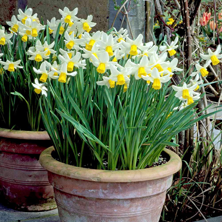 Narcissus Bulbs -  Cornish Dwarf Mix