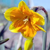 Daffodil Bulbs - Split Corona Tiritomba