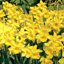 Daffodil Bulbs - Golden Harvest