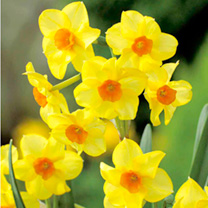 A strongly scented, multiheaded jonquil that is a must for every garden. Flowers February. Height 35cm. Jonquilla type. Bulb size 12/14cm. (Bulb sizes