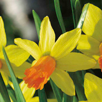An ever-popular miniature daffodil bulb whose cheerful orange-trumpeted blooms, with backward-thrusting yellow petals, will brighten the darkest corne
