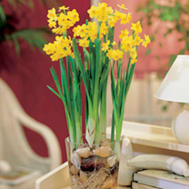 Narcissus Bulbs - Twin Pack