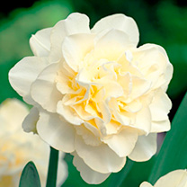 Daffodil (Double) Bulbs - Obdam