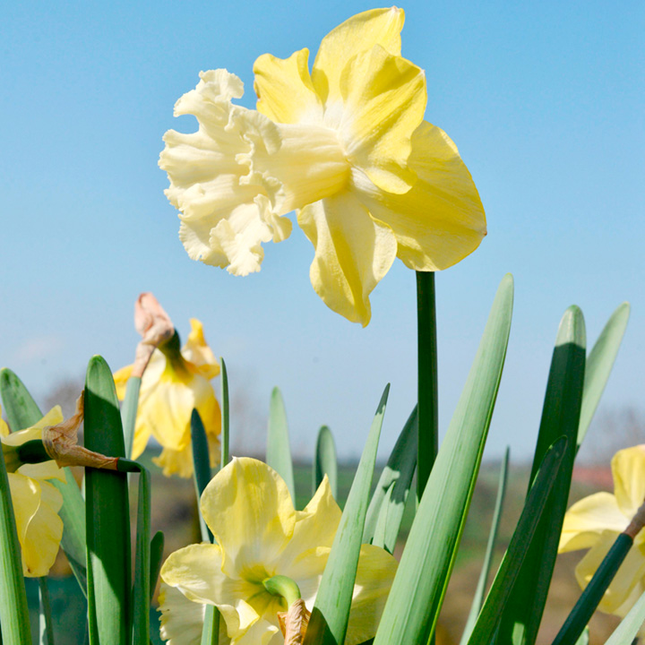 Daffodil Bulbs - Galactic Star