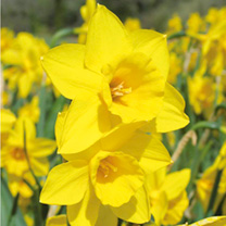 Daffodil (Cornish) Bulbs - Rosemoor Gold