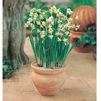 Spring Bulbs - Lucky Dip Offer