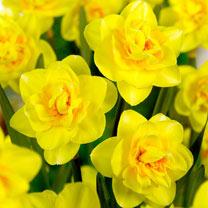 Daffodil Bulbs - Veneto