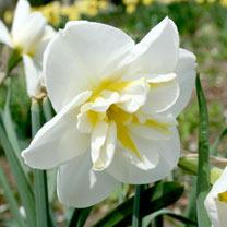 Daffodil (Split Corolla) Bulbs - Lemon Beauty