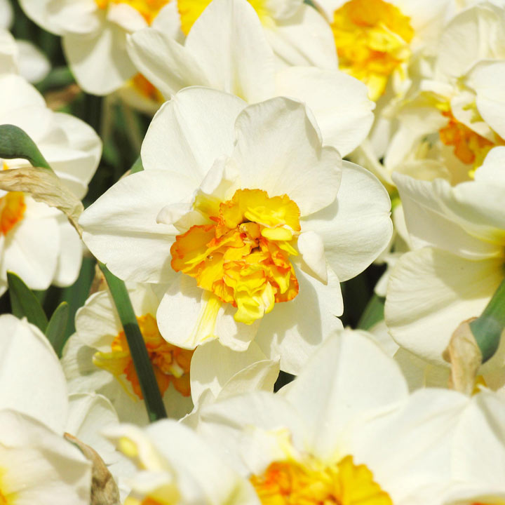 Daffodil Double Bulbs - Flower Drift