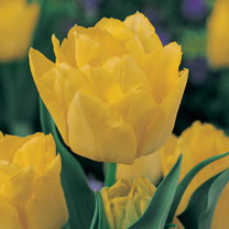 Tulip (Double Late) Bulbs - Monte Carlo