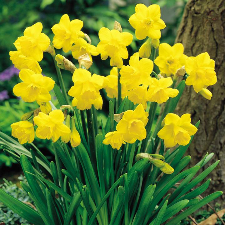 Daffodil Miniature Coll (90)