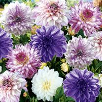 Dahlia Bulbs Purple Passion Lucky Dip Mix