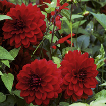 Dahlia Tubers - Arabian Night