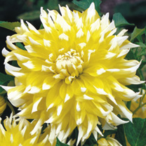 Enormous dinner plate blooms. Yellow with white tips. Flowers July-October. Height 120cm (4'). Decorative type. Eye-catching plants for borders or cut