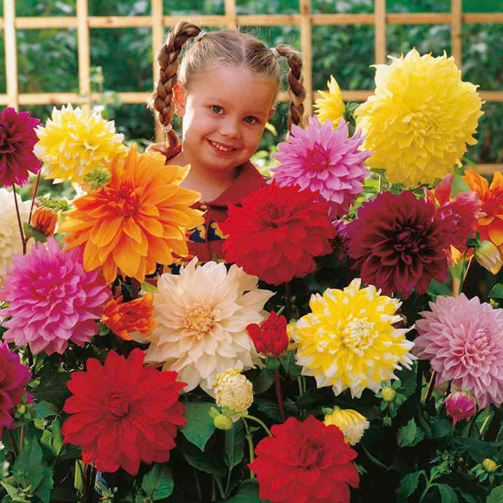 Dahlia Tubers - Dinner Plate Mix  sc 1 st  Suttons Seeds & Dahlia Tubers - Dinner Plate Mix - View All Bulbs - Flower Bulbs ...