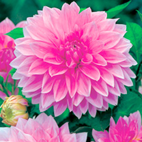 Dahlia Tubers - Lavender Perfection