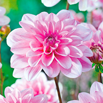 Dahlia Tubers - Pink Perception