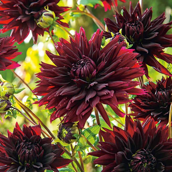 Dahlia Tubers - Black Touch