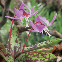 Erythronium Bare Root - Purple King