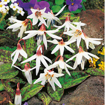 Statuesque flowers above bronze-tinted leaves. Great for pollinators. Flowers March-April. Height 11-20cm. Root size 1.