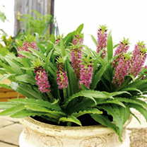 Eucomis Aloha Leia Plants