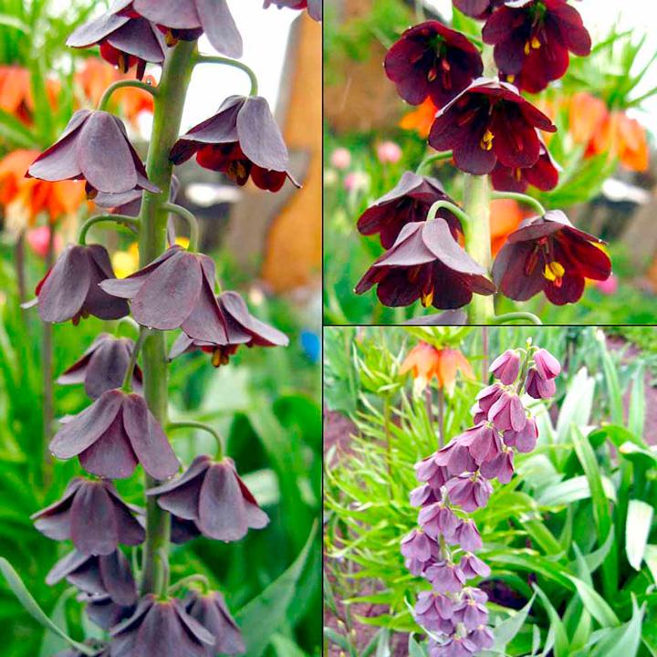 Fritillaria Bumper Collection