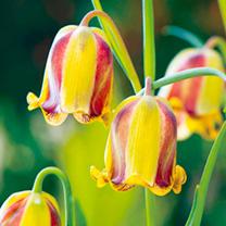 Fritillaria Bulbs - Acmopetala