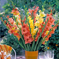 Imposing spikes of vibrant flowers make gladioli a must for summer borders and containers. For garden, vase or exhibition. A fruity mix of oranges and