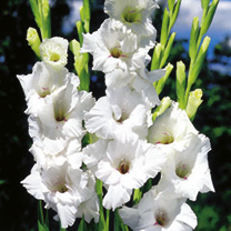 Gladioli Corms - White Prosperity