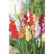A beautiful colour mix that will look stunning in a border or in a vase. Flowers July-August. Height 90-120cm (3-4'). HHP Half hardy perennial. Corm s