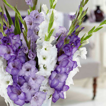 A cool mix of purples, whites and blues. Flowers July-August. Height 140cm (4'). Large flowered variety. Imposing spikes of vibrant flowers make gladi