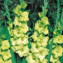 Gladioli Corms - Green Star