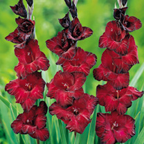 Summer Bulbs - Ruby Reds