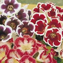 OFFER - Gloxinia Tubers & Planters