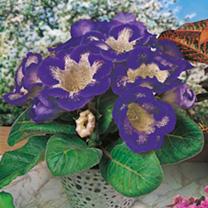 Gloxinia Tigrina Tubers - Blue