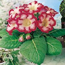 Gloxinia Tigrina Tubers - Red